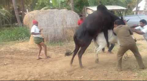 Allowing Cow to be Mounted by Bull
