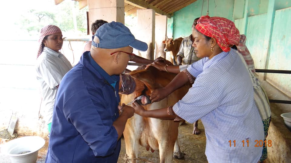 Artificial Insemination of Cow