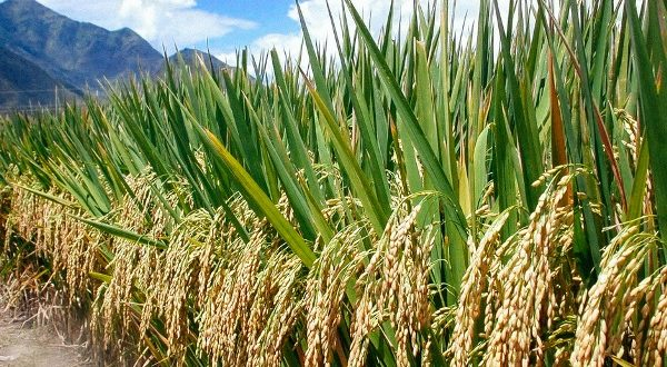 Rice-Paddy-Production.-