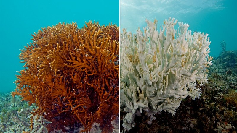 coral reef before and after coral bleeching