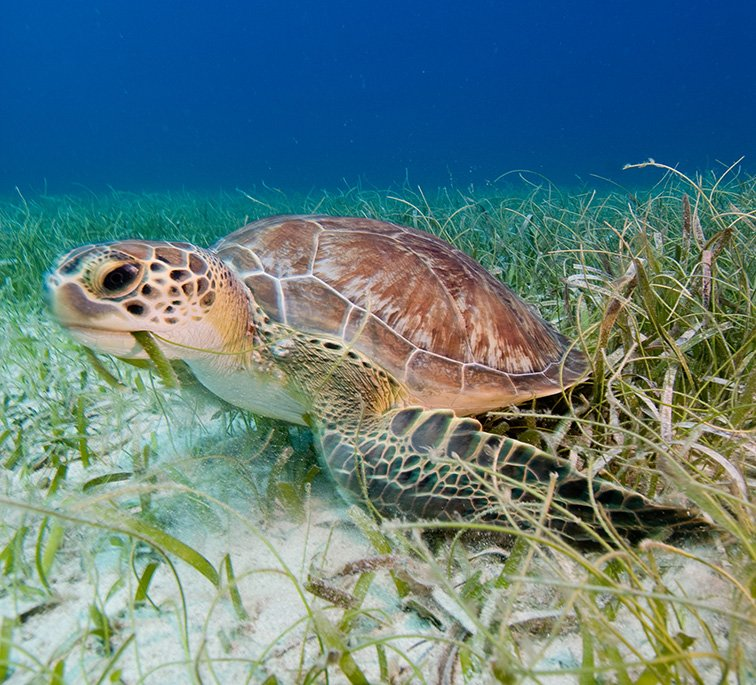 Sea turtle eating sea grass bed